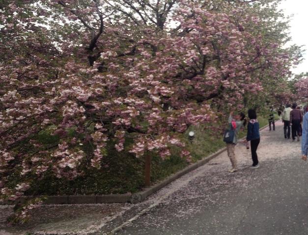 桜を撮る女性