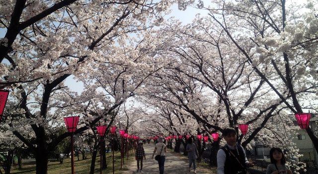桜の開花情報ならこのアプリ「桜のきもち」の実力を試してみた!