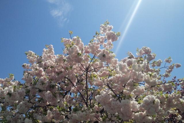 造幣局広島支局の桜